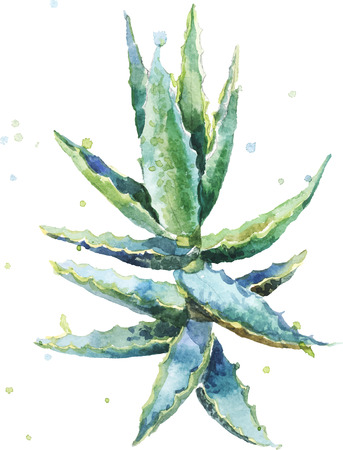 Illustration pour Aloe vera. Watercolor vector succulent aloe. Hand-drawn painting on white background. - image libre de droit
