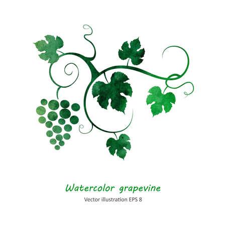 Watercolor style grapevine. Vector illustration.