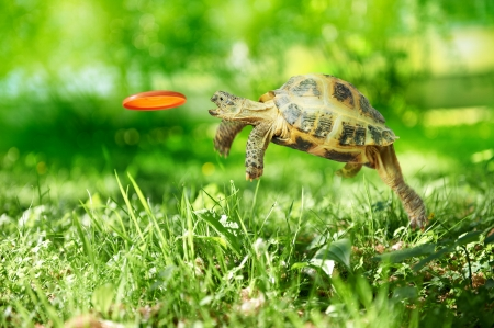Turtle jumps and catches the flying disk