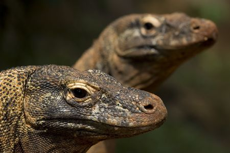 twin komodo dragon sunbathing on wilderness