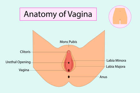 Illustration pour Anatomy of Vagina, medical vector illuatration isolated - image libre de droit
