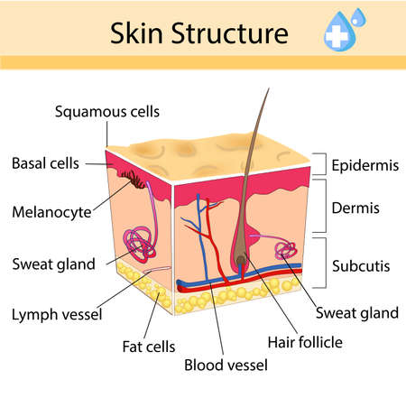 Illustration pour Human skin and hair structure. Anatomical sign. Beauty care isolated illustration - image libre de droit