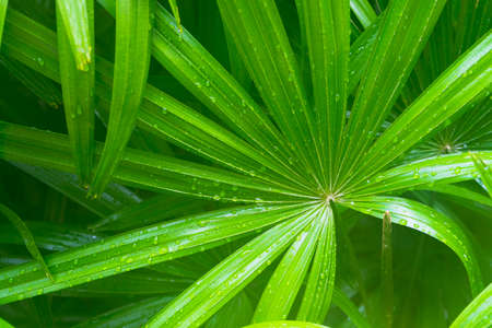 Photo pour green leave of saw palmetto with water drop on it. - image libre de droit