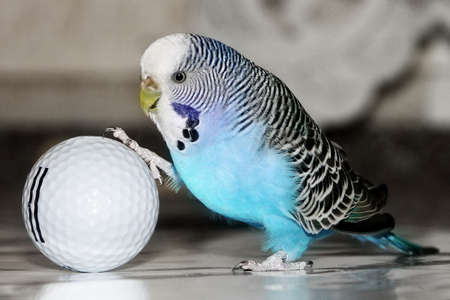 blue budgie playing football with golf ball