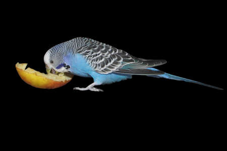 blue budgie with apple - small home pet - isolated on black background