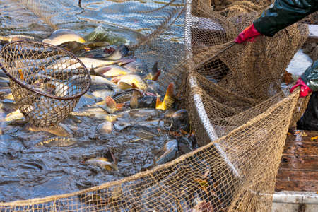 Foto de Autumn harvest of carps from fishpond to christmas markets in Czech republic. In Central Europe fish is a traditional part of a Christmas Eve dinner. - Imagen libre de derechos