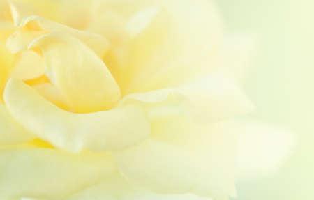 Yellow Rose soft  blur background.