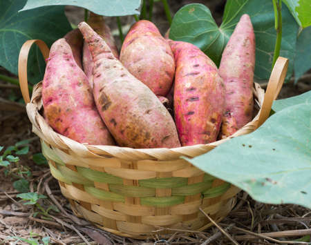 Photo for Sweet potatoes in a basket in the garden. - Royalty Free Image
