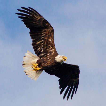 Eagle flying overhead