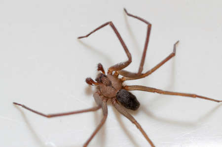 Foto de Brown Recluse Spider sitting on a white background  - Imagen libre de derechos