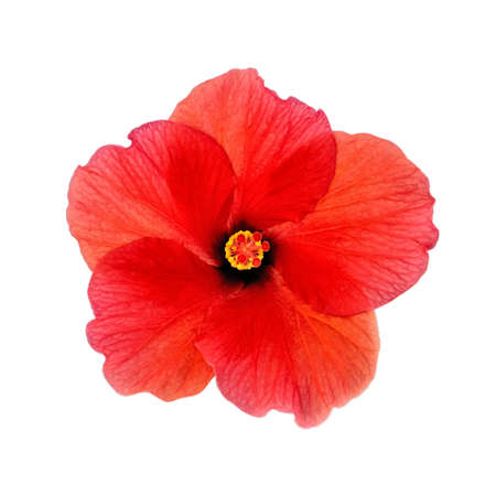 Head of red blooming hibiscus, closeup, isolated on a white background.