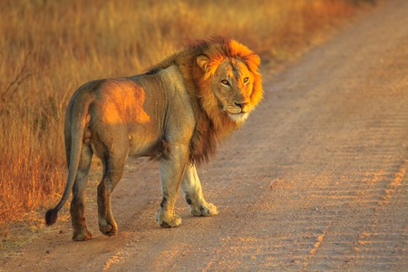 Photo pour Adult male Lion standing on gravel road inside Kruger National Park, South Africa. Panthera Leo in nature habitat. The lion is part of the popular Big Five. Sunrise light. Side view. - image libre de droit
