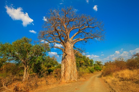 Foto per Landscape of Baobab tree in Musina Nature Reserve, one of the largest collections of baobabs in South Africa. Game drive in Limpopo Game and Nature Reserves. Sunny day with blue sky. Dry season. - Immagine Royalty Free