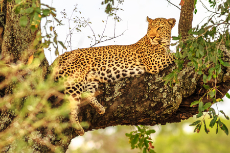 Foto de Side view of African Leopard species Panthera Pardus, resting in a tree outdoors. Big cat in Kruger National Park, South Africa. The leopard is part of the popular Big Five. - Imagen libre de derechos