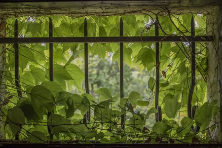 Photo pour Virginia creeper in small window with cast iron bars - image libre de droit