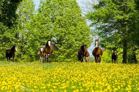 A pony herd runs on a yellow field