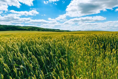 Photo pour Agrarian industry. Wheat field . green field with ears of wheat in the summer - image libre de droit