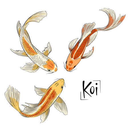 Illustration for Hand drawn vector trio of koi fish isolated - Royalty Free Image