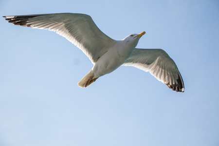 Photo for Single seagull flying in a blue sky as a background - Royalty Free Image