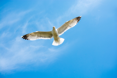 Photo for Single seagull flying in a cloudy sky as a background - Royalty Free Image