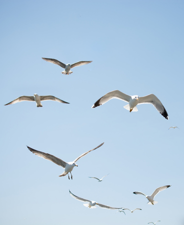 Photo for Flock of seagulls skying  in the sky - Royalty Free Image