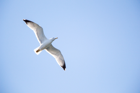 Photo for Single seagull flying in a sky as a background - Royalty Free Image