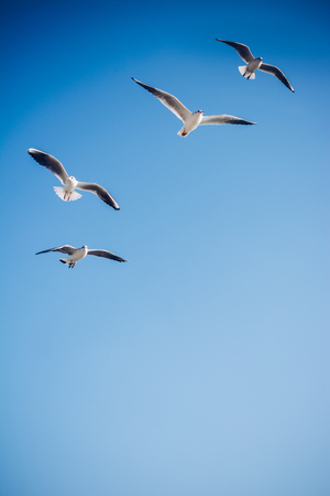 Photo for Seagulls are  flying in sky as a background - Royalty Free Image