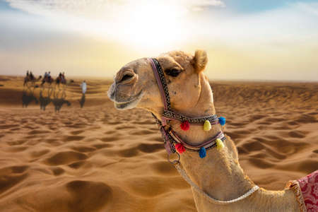 Photo pour Camel ride in the sunny desert at sunset with a smiling camel head - image libre de droit