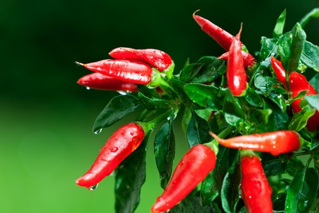 ripe red hot chili peppers on a tree