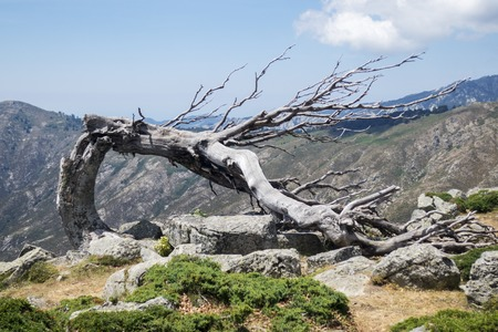 old tree on the gr20 in corsica