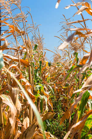 Corn, the field of corn with a ripe harvest of ears of grain crops.