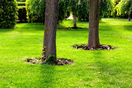 Foto de Mulching a tree bark under a tree trunk growing on a green lawn with a grass. - Imagen libre de derechos
