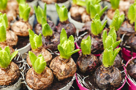Photo for Hyacinths growing in pots. Hyacinth bulbs with fresh leaves at farmers gardening market. Floriculture for Home and garden decor in winter and spring. spring bulbous flowers in flower transplanting, seedling - Royalty Free Image