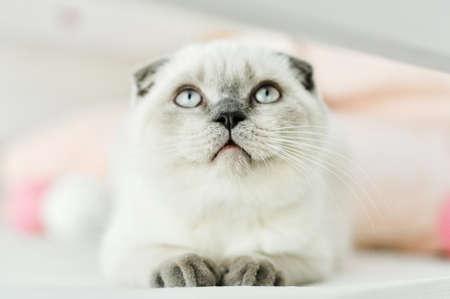 Photo pour White Scottish fold domestic cat lying in bed. Beautiful white kitten. Portrait of Scottish kitten with blue eyes. Cute white cat kitten fold grey ears. Cozy home. Animal pet cat. Close up copy space. - image libre de droit