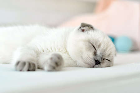 Photo pour White Scottish fold domestic cat sleeping in white bed. Beautiful white kitten. Portrait of Scottish kitten. Cute white cat kitten fold grey ears. Cozy home. Animal pet cat. Close up copy space. - image libre de droit