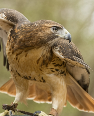 Red tailed hawk spreading wings