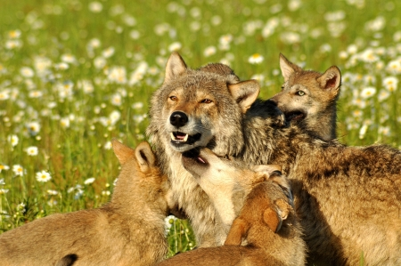 Photo for An Alpha Wolf is surrounded with wolf cubs  - Royalty Free Image