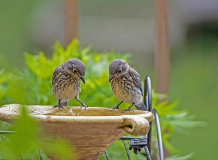 Photo pour Two baby Bluebirds check out the water together. - image libre de droit