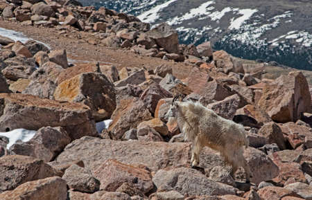 Photo for A family of wild goats come down from the cold mountain peaks looking for green food. - Royalty Free Image