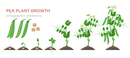 Illustration pour Pea plant growth stages infographic elements in flat design. Planting process of peas from seeds sprout to ripe vegetable, plant life cycle isolated on white background, vector stock illustration - image libre de droit