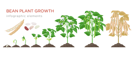 Illustration for Bean plant growth stages infographic elements in flat design. Planting process of beans from seeds sprout to ripe vegetable, plant life cycle isolated on white background, vector stock illustration - Royalty Free Image