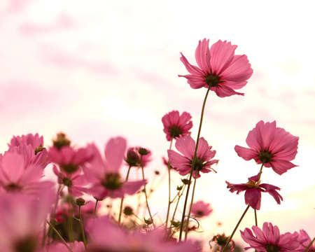 Cosmos flowers with sunset