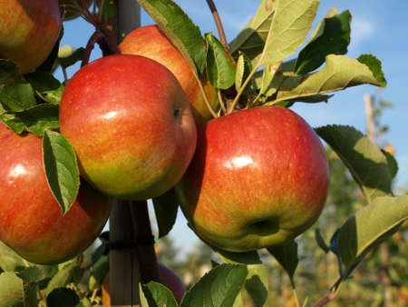 Closeup of apples on tree in orchard