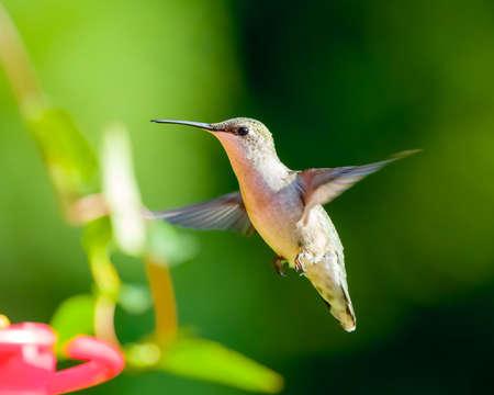 Hummingbird at Red Feeder
