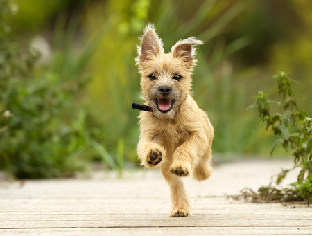 Photo pour dog running outdoors on a sunny summer day. - image libre de droit