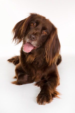 Happy and smiling purebred german brown longhaired pointer dog looking towards the camera and isolated on white background in studio.