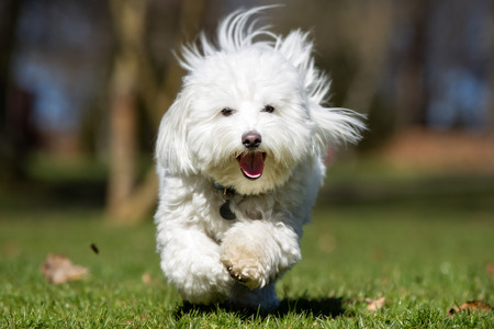 A purebred Coton de Tulear dog running without leash outdoors in the nature on a sunny day.