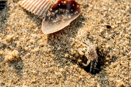 Sand crabs,Focus on baby crab on beach it go out hole and search food,A beautiful pale yellow Horned Ghost Crab hiding in its burrow