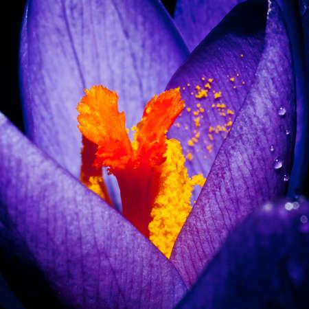 Foto de A close-up shot of an early flowering crocus. - Imagen libre de derechos