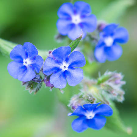 A macro shot of some small blue green alkanet blooms.
